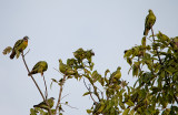 Pink-necked Green Pigeons
