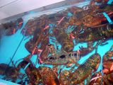 LOBSTERS CAN BE HAD AT MOST COASTAL TOWNS BUT AT $10 A LBS IT IS STILL AN EXPENSIVE MEAL