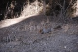 AND SAW OUR FIRST GROUND SQUIRREL...CAN YOU SEE HIM.....