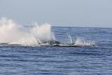 Humpback Whale Breach Sequence