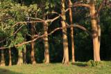 Rainbow Eucalyptus Trees