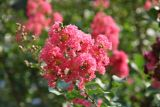 Crape Myrtle blossoms outside hotel
