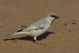 Desert Sparrow (Passera del deserto)