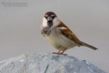 Italian Sparrow (Passera d'Italia)