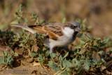 Indian Sparrow (Passero indiano)