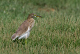 Indian Pond Heron (Sgarza indiana)