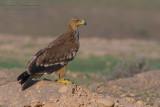 Eastern Imperial Eagle (Aquila heliaca)