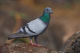 Rock Dove (Piccione selvatico)