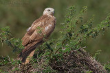Long-legged Buzzard (Buteo rufinus)