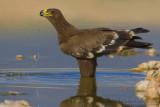 Steppe Eagle (Aquila delle steppe)