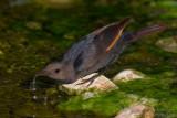 Tristram's Starling (Onychognathus tristramii)