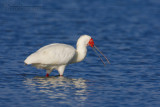African Spoonbill (Spatola africana)