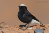 White-crowned Black Wheatear (Monachella testabianca)