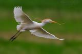 Cattle Egret (Airone guardabuoi)