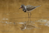 Three-banded Plover (Corriere trifasciato)