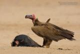 Lapped-faced Vulture (Avvoltoio orecchiuto)