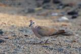African Collared Dove (Tortora dal collare africana)