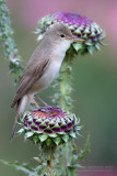 Upcher's Warbler (Hippolais languida)