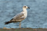 Armenian Gull (Larus armenicus)