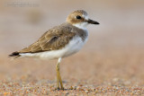 Greater Sand Plover (Corriere di Leschenault)