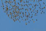 Hobby (Falco subbuteo) and Common Starling (Sturnus vulgaris)