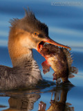 Red.breasted Merganser (Mergus serrator) eating a Black Scorpionfish (Scorpena porcus)