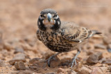 Thick-billed Lark (Ramphocoris clotbey)