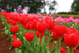 Silvan Tesselaar Tulip Festival