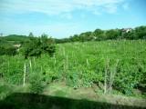 Bulgarian Vineyard