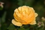 A yellow rose in the Vondelpark gardens