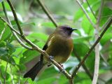 New Zealand Endemic Passerines.