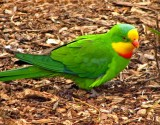 overseas_parrots