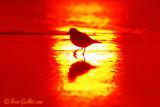 Pluvier 8923 - lever soleil - Ogunquit - taillée.jpg