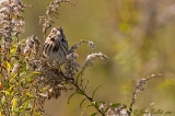 Bruant chanteur - Song Sparrow - 6 photos