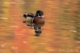 Canard branchu mâle #8876.jpg