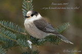 Mésangeai du Canada - Gray Jay - 2 photos