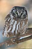 Nyctale de Tengmalm - Boreal Owl - 6 photos