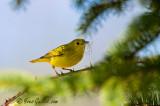 Paruline jaune et brindilles 05-09 #0850.jpg