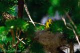 Paruline jaune au nid 05-09 #0839.jpg