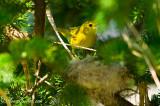 Paruline jaune au nid 05-09 #0852.jpg