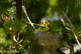 Paruline jaune au nid 05-09 #0859.jpg