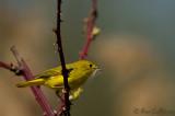 Paruline jaune et brindilles 05-09 #0848.jpg