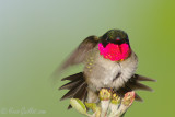 Colibri mâle 05-2009 #9993 .jpg
