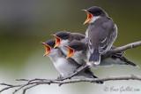 Tyran tri-tri - Eastern Kingbird - 7 photos