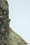 Faucon pèlerin sur falaise #0926.jpg