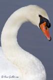 Cygne tuberculé - Mute Swan - 11 photos