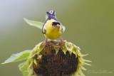 Chardonneret jaune mâle + tournesol #5690.jpg
