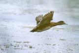 Canard d'Amérique femelle #7052.jpg