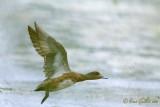 Canard d'Amérique femelle #7053.jpg