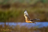 Busard St-Martin - Northern Harrier - 3 photos
